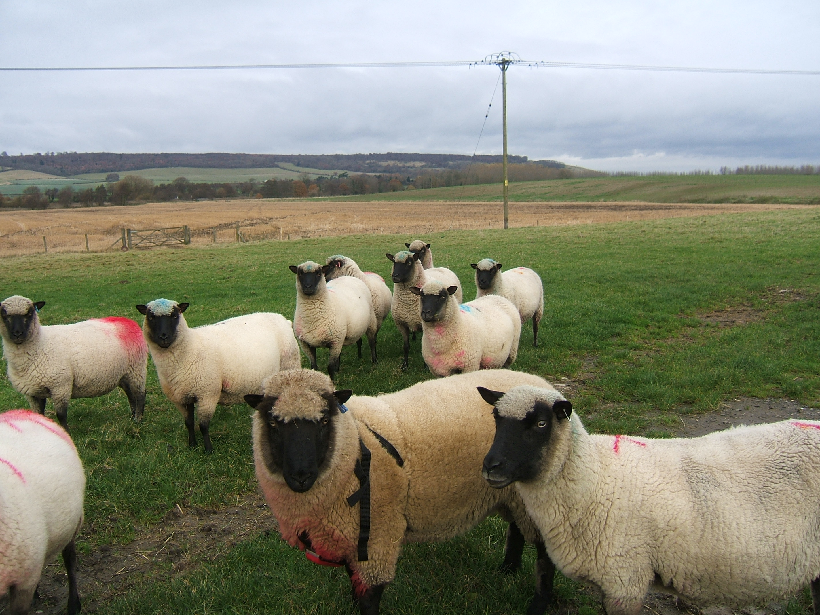 Bobby and a few of the ewes 2.jpg